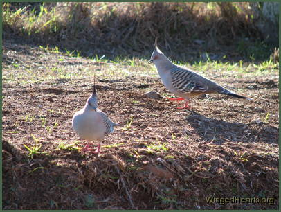 Crested Pigeons