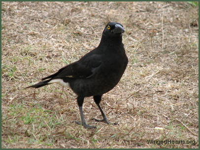 Pied currawong sitting on the ground