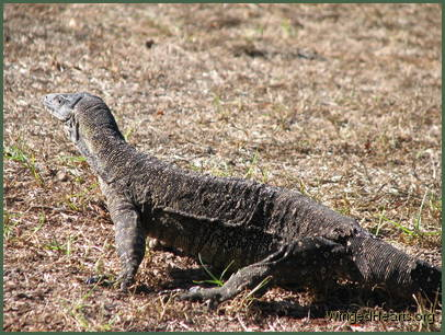 goanna running in the yard
