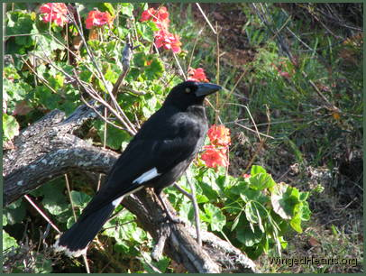 while Kari currawong watches with interest