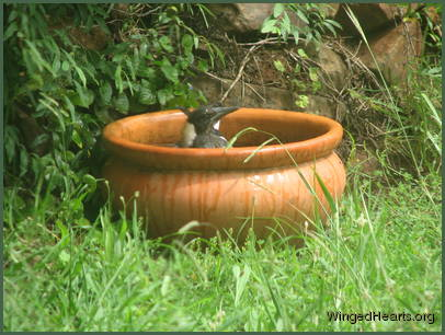 juvenile magpie Monty having a bath