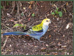 A Rosella pays a visit to the back yard