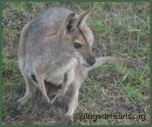 A wallaby mum with Joey in the pouch