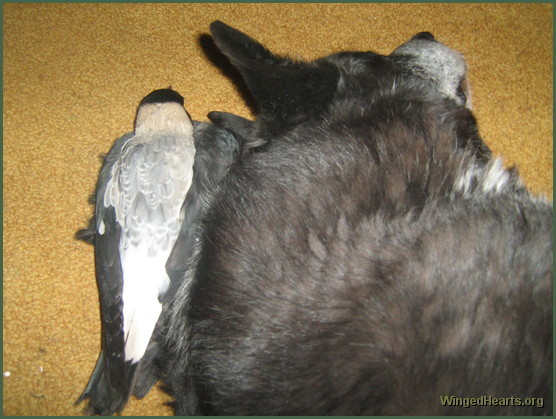 Gypsy magpie with herfavourite dog