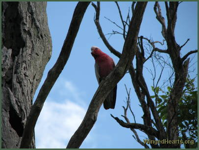 The galahs are keen to show their nest