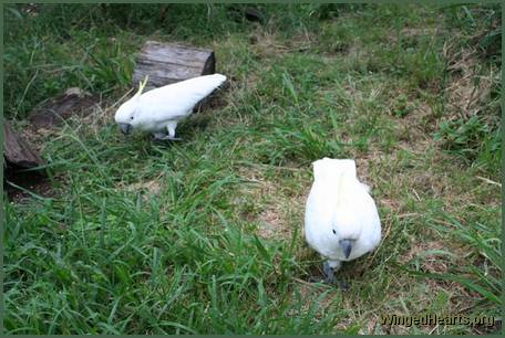 cockatoos on the ground