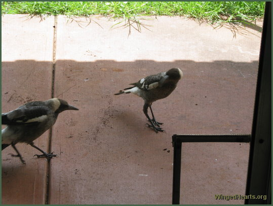Shelly magpie (left with injured wing) and sister Nelly magpie