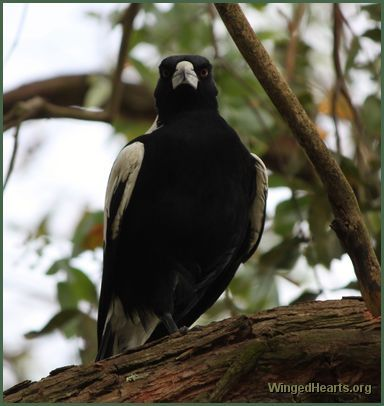 One legged Australian magpie