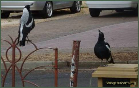 shirley's magpie's on the fence