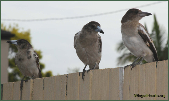 juvi pied butcherbirds