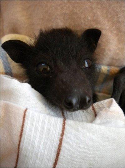 rescued - Matilda - black flying fox